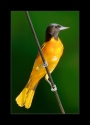 Male_Baltimore_Oriole_III_by_Wessonnative.jpg