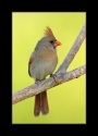 Female_Northern_Cardinal_1_by_Wessonnative.jpg