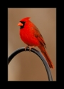 Northern_Cardinal_3_by_Wessonnative.jpg