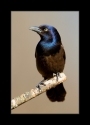 Common_Grackle_by_Wessonnative.jpg